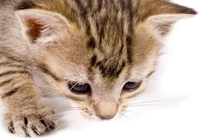 pet friendly cute cat article image